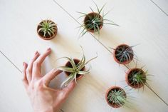 Small cacti plants can be medium sized but i really want some