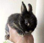 RABBIT : peu de noir Netherland Dwarf lapin Thaïlande dans la main
