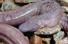penis-snake