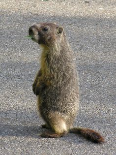 7 Best Woodchucks Images In 2015 Garden Pests Potager