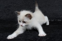 2015: Darcy A Zwollywood Cat. 7 Weeks old. Ragdoll kitten, seal bicolour. Dark world litter.