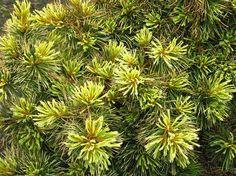 """Pinus parviflora """"Goldilocks"""""""