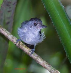 Choca-do-planalto (Thamnophilus pelzelni)