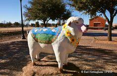 San Angelo sheep
