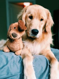 The holidays are on the way, and there's still time to find the perfect gift ideas for Golden Retriever lovers in your life. Here are ten holiday gift ideas that will have Golden Retriever lovers wagging their tails in celebration! Animals And Pets, Baby Animals, Funny Animals, Cute Animals, Nature Animals, Perros Golden Retriever, Golden Retrievers, Golden Retriever Mix, Cute Dogs And Puppies