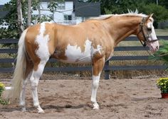 Pinto: Dominant White.  Sato, a TB stallion often thought to be sabino, but has tested positive for DW and negative for sabino.  He is the sire of Simba Twist.