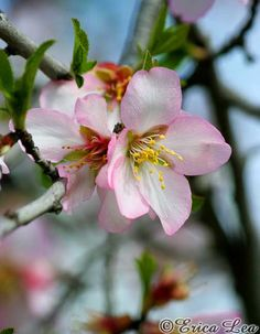 Pink Apple Blossoms Photo Flower Photography by NatureVisionsToo, $20.00