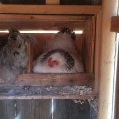 Broody hens? Someone with experience wanna tell me if that's what I got going on? Lol!  #BroodyHens #KatisFlock