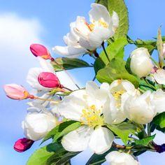 Bachblüte Nr. 10: Crab Apple ist die Reinigungsblüte, sie reduziert den Zwang nach Sauberkeit auf ein normales Maß und lenkt den Blick auf das Wesentliche. Sie fördert die Entgiftung und die Reinigung des Körpers ...