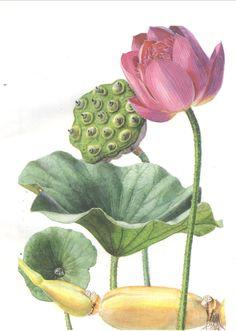 Lotus Drawing, Lotus Painting, Lotus Art, Plant Drawing, Vintage Botanical Prints, Botanical Drawings, Botanical Illustration, Botanical Flowers, Botanical Art