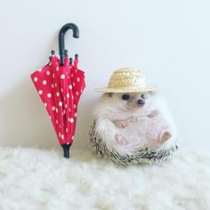 Facts About Hedgehog Pet Baby Animals Pictures, Cute Animal Photos, Funny Animal Pictures, Animals And Pets, Cute Animal Memes, Cute Funny Animals, Baby Hedgehog, Funny Hedgehog, Pygmy Hedgehog