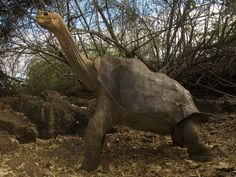 The giant tortoise Lonesome George, last survivor of his Galapagos Islands subspecies, at the Darwin research centre on Santa Cruz Island, Ecuador, where he died last weekend