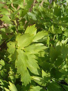 Maggikruid combineert zeer goed bij laurier, karwijzaad, bieslook, knoflook, oregano, tijm en peterselie.  Je kunt de bladeren perfect drogen...