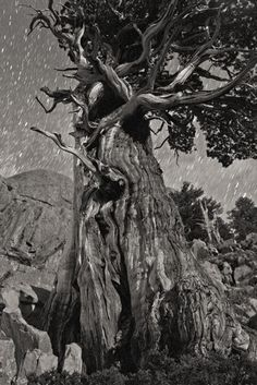 Swirly tree and stars by Ansel Adams