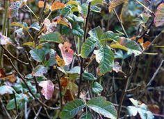 Sumac de de l'ouest sous forme d'arbuste