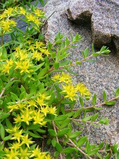 Sedum sarmentosum stringy stonecrop stringy stonecrop sedum urban oasis heirloom yellow sedum mightylinksfo