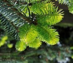 Abies fanjingshanensis Endangered Plants, Habitats, Plant Leaves
