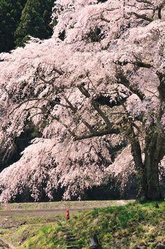 上発知 しだれ桜 by 越智京子 #桜 #CherryBlossom