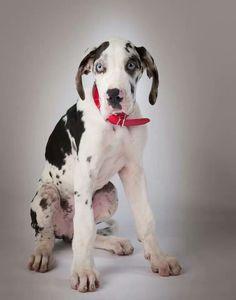 #Great #Dane little puppy
