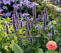 """So excellent for Summer-Fall color, this is very possibly the best blue """"Licorice Mint"""" you can grow! A sterile hybrid, it puts all its energy into pumping out a long succession of dense, very rich violet-blue, 10"""" erect spikes"""