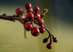 Red berries braving the winter  by burgele72