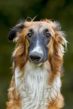 Black-masked red sable Borzoi with a quizzical expression <: