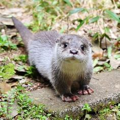 I used to live next to a lake where I once saw a family of river otters swimming close along the path watching me and my dog. They were so precious! Baby Otters, Otters Cute, Cute Funny Animals, Cute Baby Animals, Animals And Pets, Wild Animals, Le Castor, Otter Love, River Otter