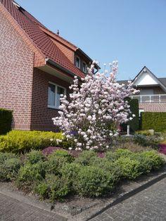 18: Magnolia soulangiana / Tulpen-Magnolie – ein Klassiker unter den Magnolien und blüht in Tulpenform bereits am April