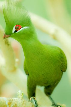 The bright grass-green Turaco with its striking crest, & long tail is a graceful bird native to Central & Western Africa