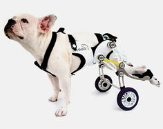 Innovative wheelchair for dogs helps old, injured, and disabled pets move, walk, and run without assistance. Amigo dog wheelchair made by talented industrial designer Nir Shalom.