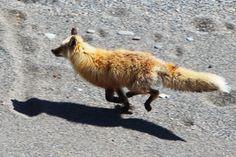 http://www.groundtruthtrekking.org/static/uploads/photos/fox-running.700x700.jpg