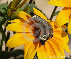 A common buckeye butterfly rests on a sunflower