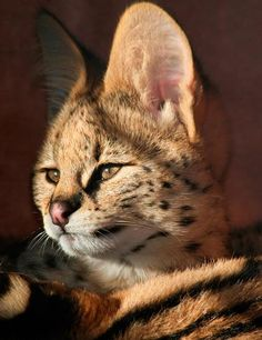Your cat is expecting kittens. Raising kittens can be a highly rewarding and enjoyable experience. Rare Cats, Exotic Cats, Cats And Kittens, Big Cats, Animals And Pets, Baby Animals, Cute Animals, Funny Animals, Cool Cats