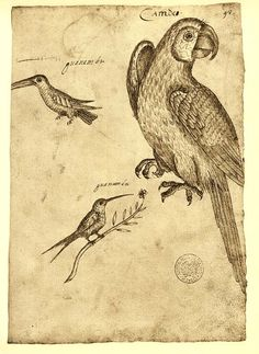 Macaw and Hummingbirds Sketch Drawing  by CarambasVintage,  $16.