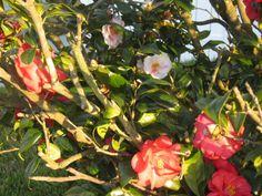 Camellia japonica Lady Vansittart