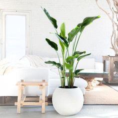 15 Best Low Light Indoor Trees You Can Grow Easily The Self-Sufficient Living - Floor Plants - Ideas of Floor Plants - Bird of Paradise Large Indoor Planters, Best Indoor Plants, White Planters, Best Potted Plants, Indoor Floor Plants, Best Indoor Trees, Indoor Tropical Plants, Pot Plants, Faux Plants