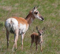 Pronghorn Antelope Doe & Fawn...