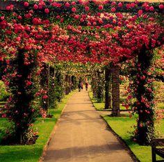 walk of roses