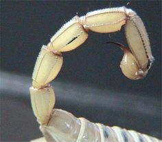 Image result for close up of scorpion tail