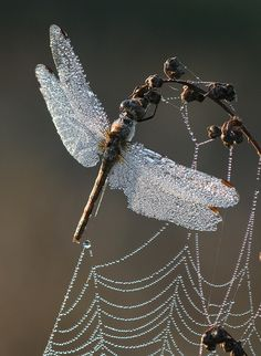 Dragonfly and spider's web covered in dew