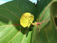 New leaf starting on a seagrape tree at Xtabi in Negril, Jamaica Gps Map, Negril Jamaica, Jamaica Travel, Enjoy It, New Leaf, Travel Guide, Plant Leaves, Tours, Ocean