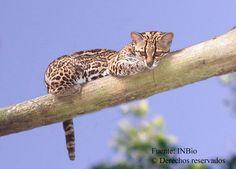 El gato tigre, tigrillo, cunaguaro, caucel, maracayá o margay (Leopardus wiedii, antes Felis wiedii) es una especie de mamífero carnívoro de la familia Felidae ampliamente distribuido por América, desde México (con un registro en Texas, EE. UU.) hasta el sur de Sudamérica con poblaciones en Uruguay, Norte de Argentina y Sur de Brasil. (Photo: (c) Instituto Nacional de Biodiversidad - INBio, Costa Rica., algunos derechos reservados (CC BY-NC-SA))
