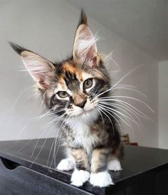 Interested in owning a Maine Coon cat and want to know more about them? The Maine Coon kitten adoption will Cute Cats And Kittens, Cool Cats, Kittens Cutest, Pretty Cats, Beautiful Cats, Animals Beautiful, Beautiful Creatures, Chat Bizarre, Gatos Cats