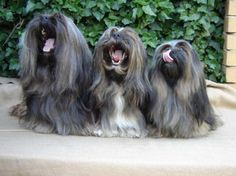 3 of Tienschans Lhasa apso - bored with the photo shoot Cute Little Dogs, Cute Dogs, Cute Babies, Dogs With Big Eyes, Big Dogs, Lhasa Apso, Shih Tzus, Dog Boarding, Puppy Love