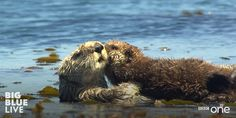 Sea otter pup gives her mother a kiss on the cheek - August 25, 2015