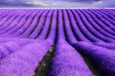 Cheap vanilla seeds, Buy Quality lavender seeds directly from China seed plants Suppliers: Provence Lavender seeds purple Lavandula vanilla seeds fragrant organic lavender seeds plant flower Home Garden Lavender Fields France, Provence Lavender, French Lavender, Lavender Seeds, Lavender Flowers, Lavender Tea, Lavender Cottage, Lavender Garden, Purple Roses