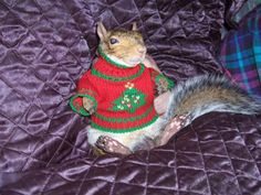 This is hysterical! I think I have seen it all! A Christmas sweater on a squirrel!