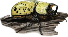 Full color illustration of an Eastern Hercules Beetle (Dynastes tityus)