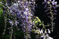 Flores de Asturias. La Prida, San Roque del Acebal, Llanes. Principado de Asturias. Spain.