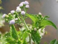 Mentrasto   Plantas Medicinais - Cultivando.com.br
